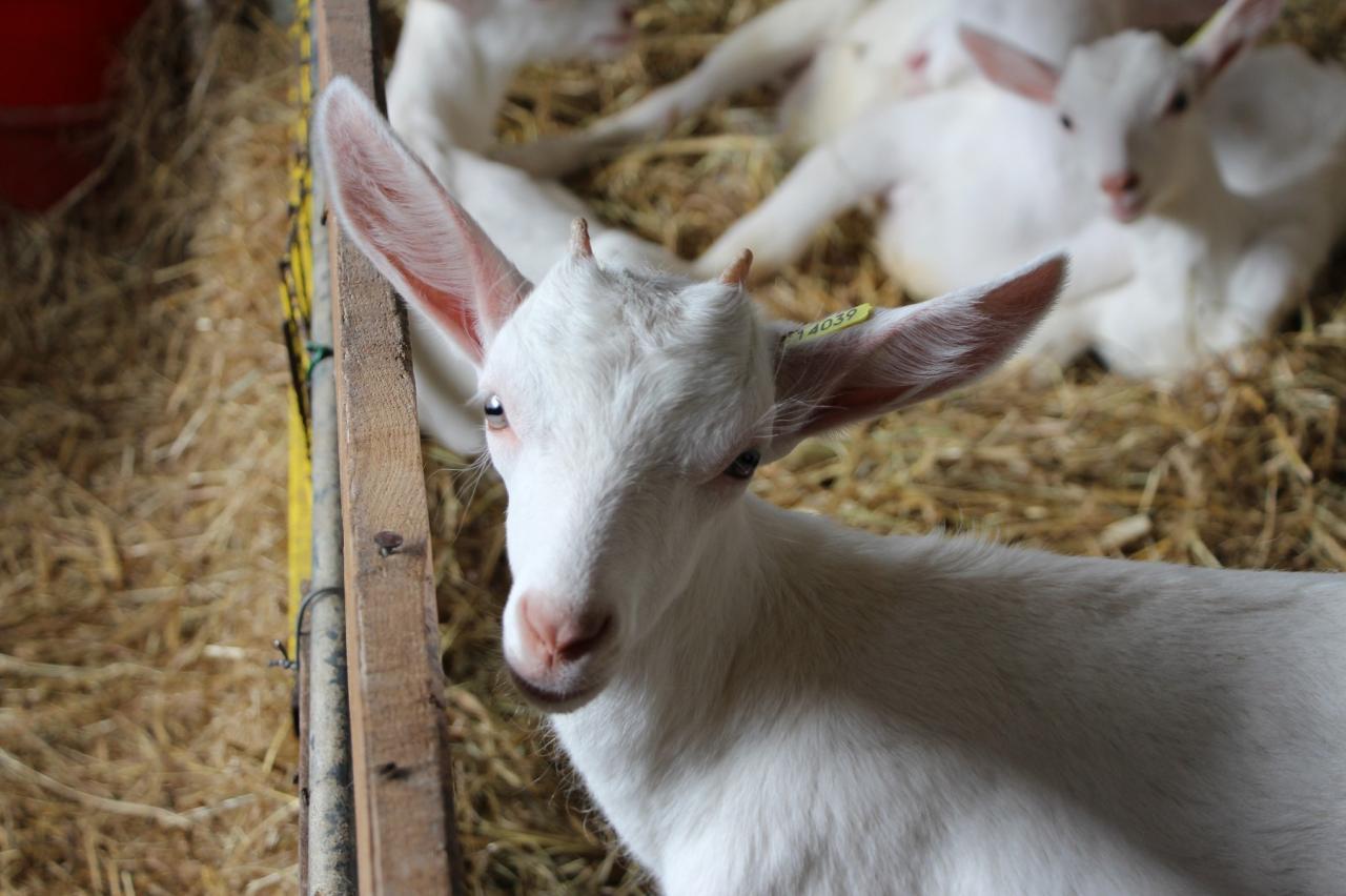 Les grandes oreilles